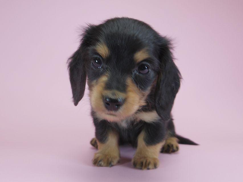 ダックスフンド カニンヘン パン.2 & オスカルの子犬 ブラッククリーム 女の子