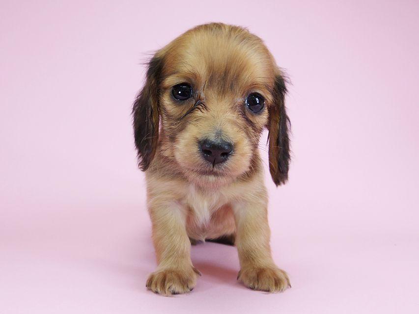 ダックスフンド カニンヘン パン.2 & オスカルの子犬 シェーデットレッド 女の子