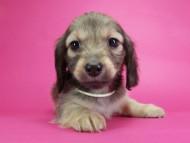 オーシャン & ジャンの子犬 シェーデットクリーム 女の子(1)
