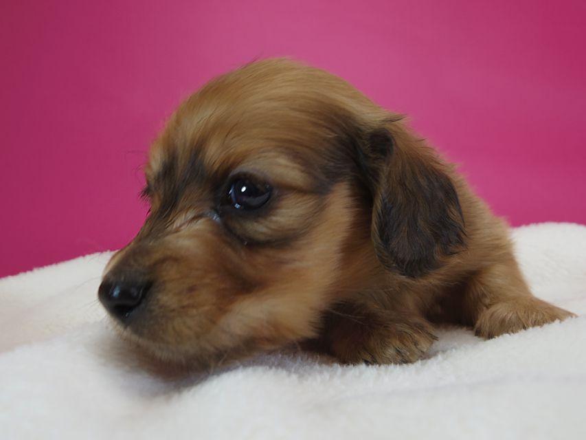 ダックスフンド カニンヘン スワン & たけるの子犬 レッド 男の子(1) お写真初登場