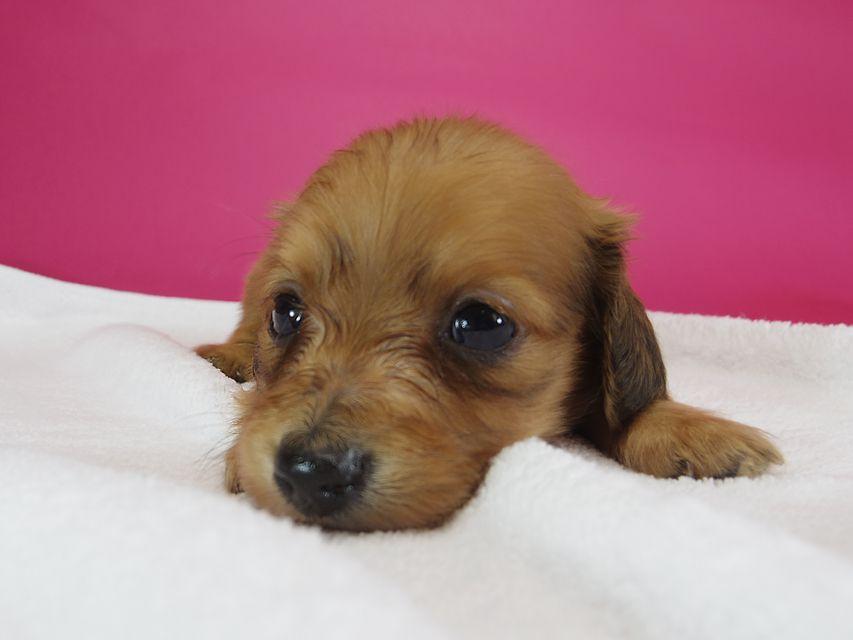 ダックスフンド カニンヘン スワン & たけるの子犬 レッド 男の子(2) お写真初登場