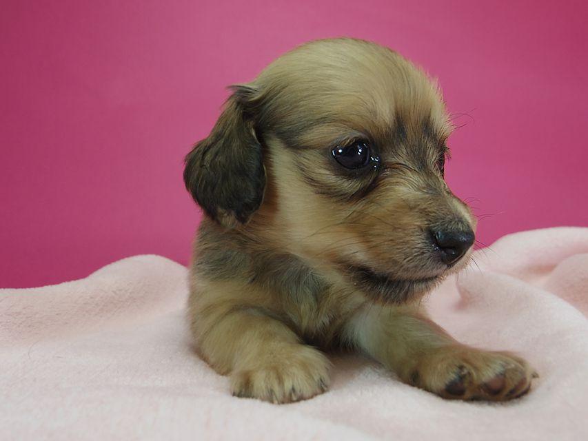 ダックスフンド カニンヘン スワン & たけるの子犬 シェーデットクリーム 女の子 お写真初登場
