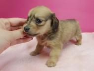 スワン & たけるの子犬 シェーデットクリーム 女の子 お写真初登場