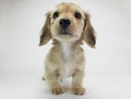 メロディ & たけるの子犬 シェーデットクリーム 男の子