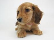 メロディ & たけるの子犬 レッド 女の子(1)