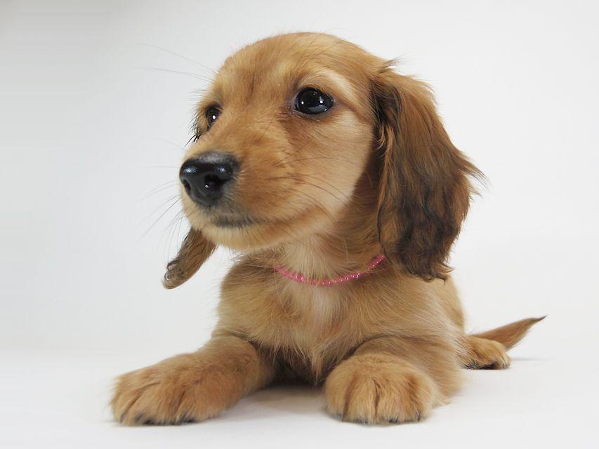 ダックスフンド カニンヘン メロディ & たけるの子犬 レッド 女の子(1)
