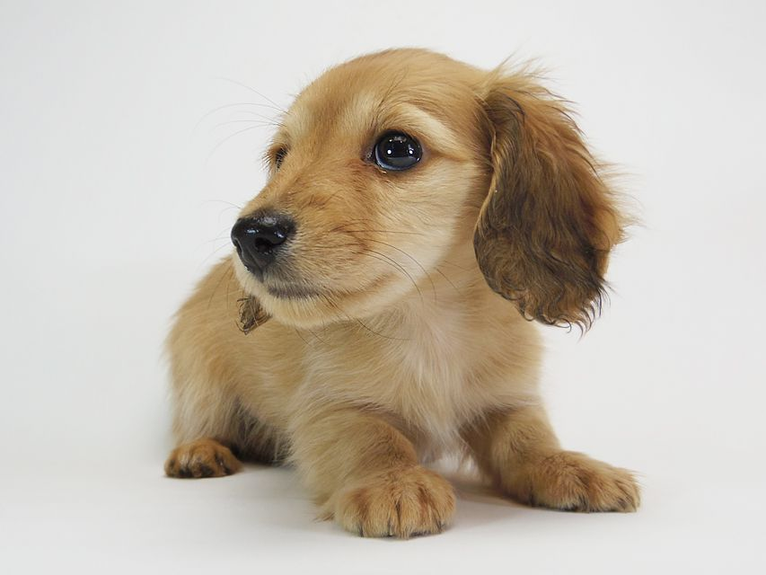 ダックスフンド カニンヘン メロディ & たけるの子犬 レッド 女の子(2)