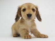 メロディ & たけるの子犬 レッド 女の子(2)