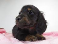 いちご & オスカルの子犬 ブラックタン 女の子