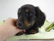 いちご & オスカルの子犬 ブラックタン 男の子