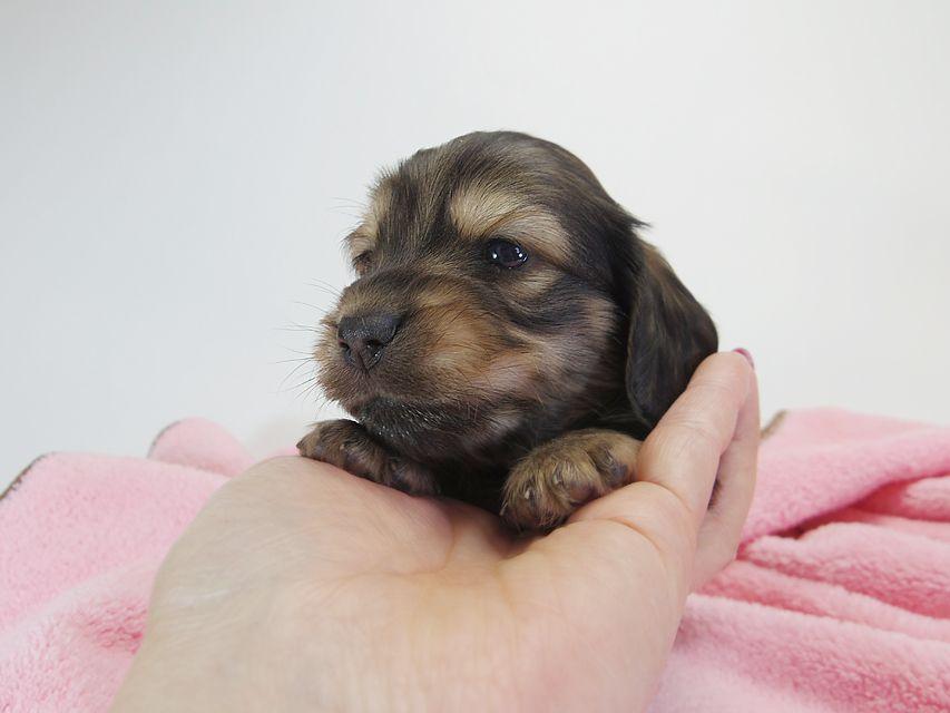 カニンヘンダックスフンド ロングヘアード ティアラ & オスカルの子犬 シェーデットクリーム 女の子(1) お写真初登場