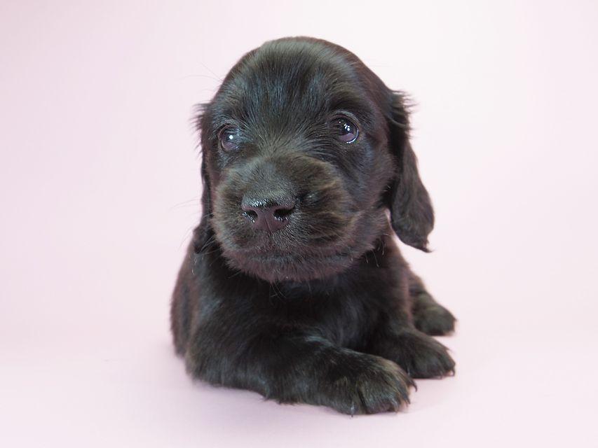 カニンヘンダックスフンド ロングヘアード プレ.yu & オスカルの子犬 ブラッククリームブリンドル 男の子 お写真初登場