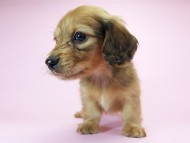 スワン & たけるの子犬 レッド 男の子(1)