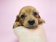 スワン & たけるの子犬 レッド 男の子(2)