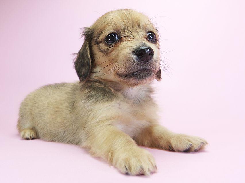 カニンヘンダックスフンド ロングヘアード スワン & たけるの子犬 シェーデットクリーム 女の子