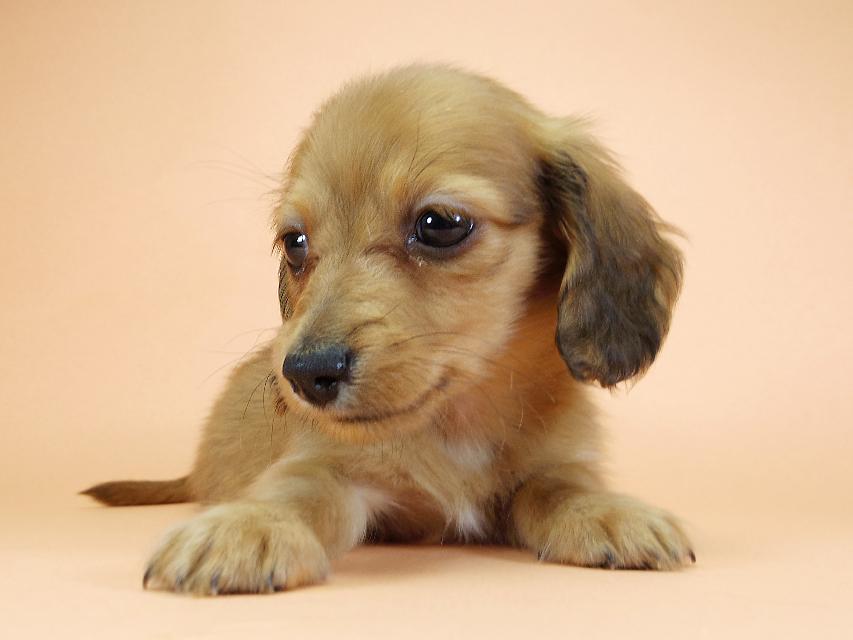 カニンヘンダックスフンド ロングヘアード スワン & たけるの子犬 レッド 男の子(2)