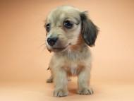 スワン & たけるの子犬 シェーデットクリーム 女の子