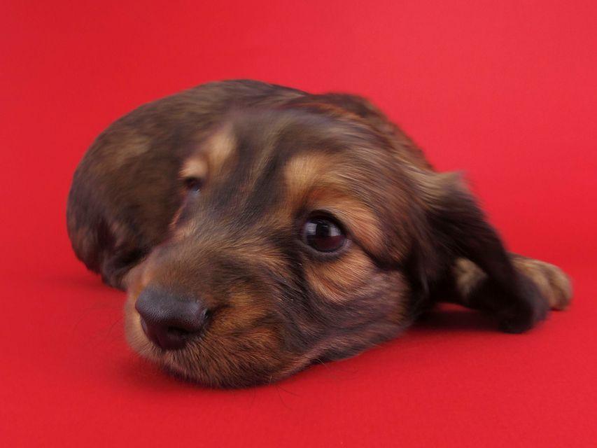 ミニチュアダックスフンド ララ & ジャンクレールダンディの子犬 レディッシュイエロー 男の子