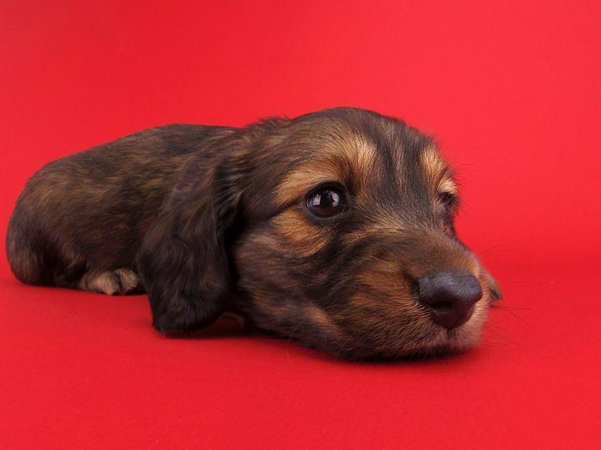 ララ & ジャンクレールダンディの子犬 レッド 男の子