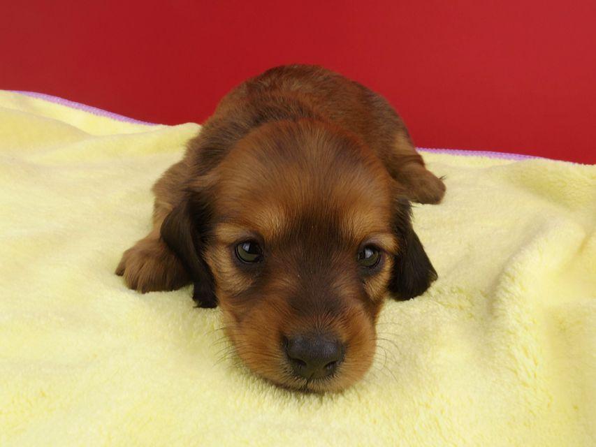 カニンヘンダックス シエラ & たけるの子犬 レッド 女の子(1)
