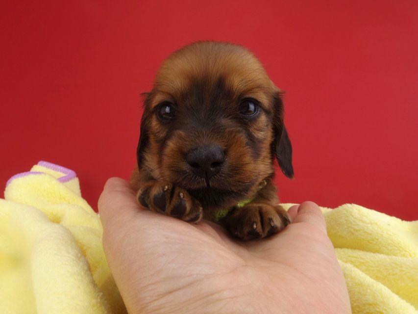 カニンヘンダックス シエラ & たけるの子犬 レッド 女の子(3)