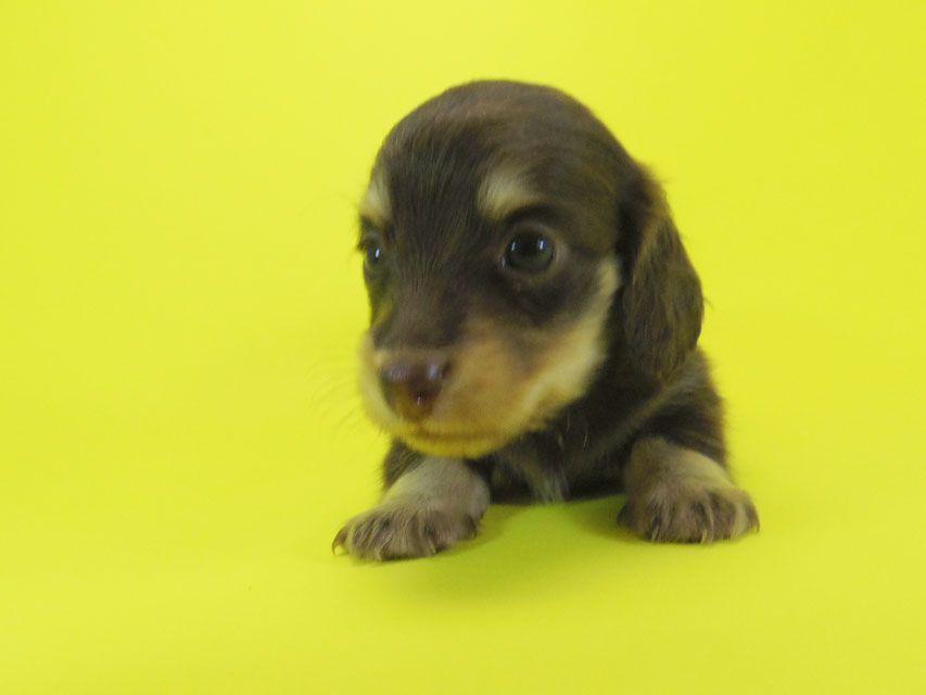 ダックスフンド 黒豆 & アサヒの子犬 チョコ系 女の子