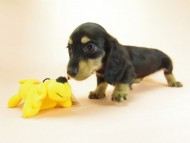 月子 & ジムダンディの子犬 ブラックタン 女の子