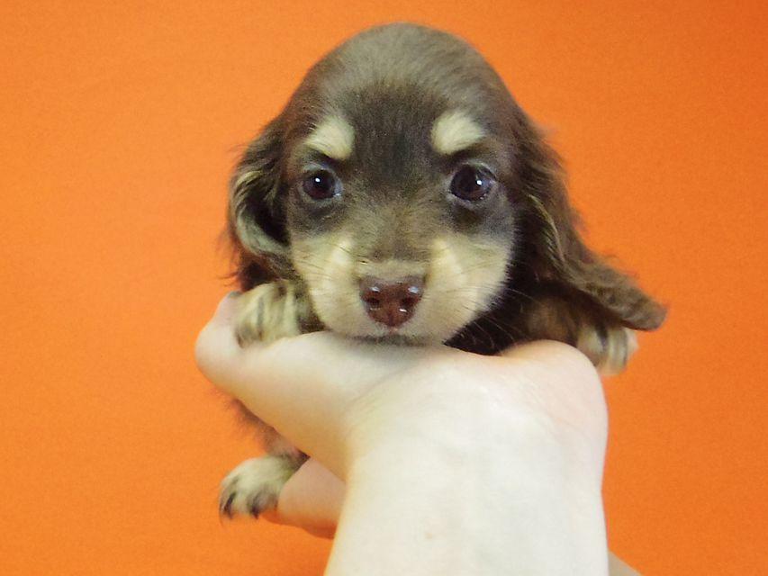 ダックスフンド 黒豆 & アサヒの子犬 チョコクリ 女の子