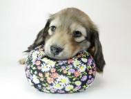 リールー & オスカルの子犬 シェデットクリーム 女の子