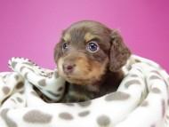 黒豆 & アサヒの子犬 チョコタン 女の子
