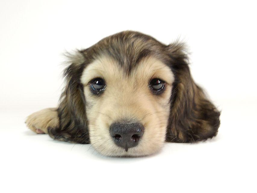 ダックスフンド カニンヘン リールー & オスカルの子犬 シェデットクリーム 男の子