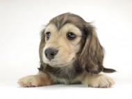 リールー & オスカルの子犬 シェデットクリーム 男の子
