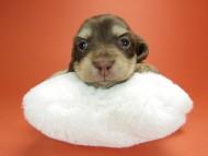 ピノ & バロン君の子犬 チョコクリーム 男の子 お写真初登場