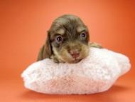 ピノ & バロン君の子犬 チョコクリーム 女の子【ハイクラス】 お写真初登場