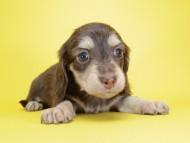 ピノ & バロン君の子犬 チョコクリーム 男の子