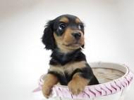 コラム & アレックスの子犬 ブラックタン 女の子 お写真初登場