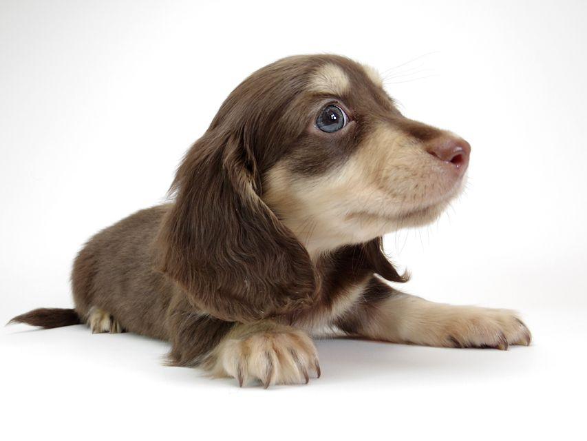 ダックスフンド カニンヘン ピノ & バロン君の子犬 チョコクリーム 男の子