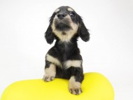 ピノ & バロン君の子犬 ブラッククリーム 女の子②