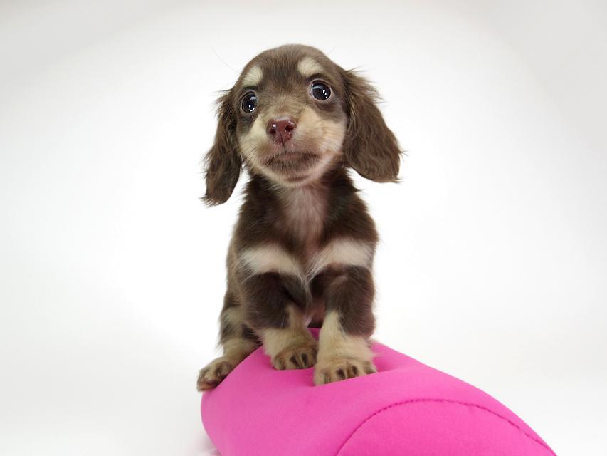 ダックスフンド カニンヘン ピノ & バロン君の子犬 チョコクリーム 女の子【ハイクラス】