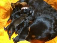 カニンヘン ルヒィ 6/21出産しました ブラック系 男の子2、ブラック系 女の子1、レッド系 女の子1