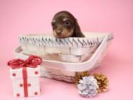 ピノ & バロン君の子犬 チョコクリーム 女の子【ハイクラス】