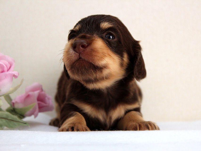 カニンヘン ダックスフンド 子犬 チョコクリ男の子