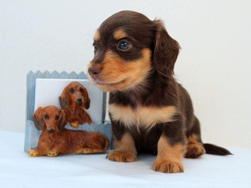 カニンヘン ダックスフンド 子犬 チョコ&タン 男の子