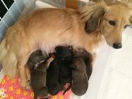 カニンヘンのソルトが11/21出産しました ブラックタン男の子1、ブラッククリーム男の子1、シェーデットレッド男の子1、シェーデットクリーム男の子1、シェーデットクリーム女の子1
