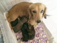 カニンヘンのチェルシーが11/21出産しました ブラックタン男の子1、ブラッククリーム男の子1、シェーデットクリーム男の子1、シェーデットレッド女の子1
