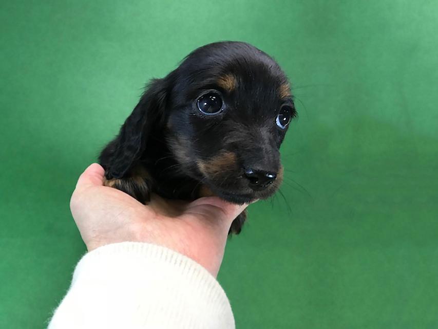 カニンヘンダックス いちご & ジムの子犬 ブラックタン 女の子