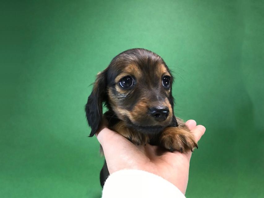 カニンヘンダックス いちご & ジムの子犬 レッド 女の子(1)