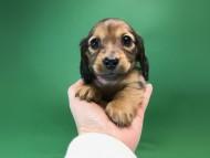 いちご & ジムの子犬 レッド 女の子(2)
