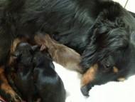 カニンヘン レイ 6/1出産しました チョコ系男の子1、ブラック系女の子2