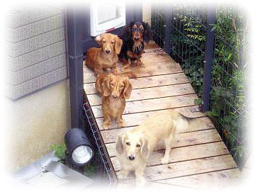 ブリーダー カニンヘンダックス、ミニチュアダックス、ダックスフンドの犬舎掃除中